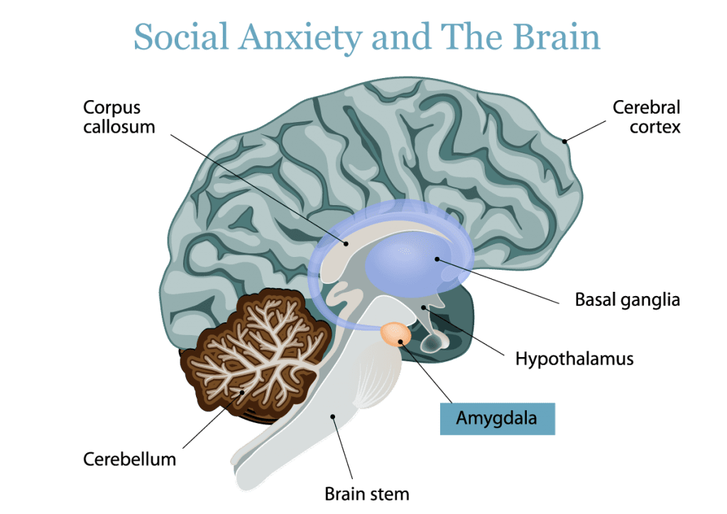 Social Anxiety and The Brain